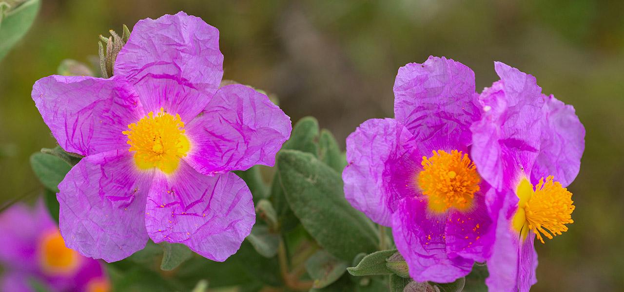 Cistus – eine Wunderpflanze mit Auszeichnung